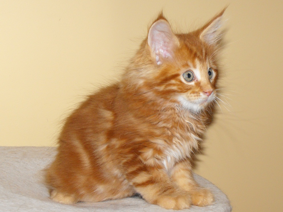 Maine Coon - Gizmo Fast & Furious *LT